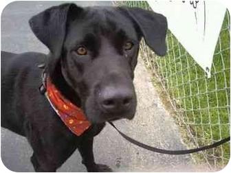 Labrador Retriever Mix Dog for adoption in San Diego, California - BLACKY