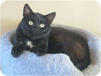 Domestic Shorthair Cat for adoption in Bloomsburg, Pennsylvania - Midnight