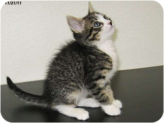 Domestic Shorthair Kitten for adoption in Republic, Washington - Campbell