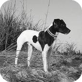 Jack Russell Terrier Dog for adoption in Austin, Texas - Shake in Dallas