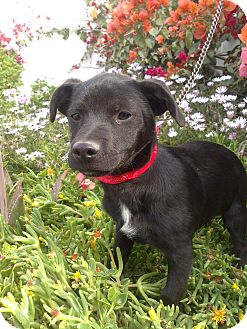 Labrador Retriever Mix Puppy for adoption in Irvine, California - BLACK