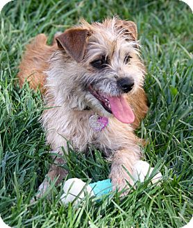 Terrier (Unknown Type, Small) Mix Puppy for adoption in Mission Viejo, California - COREY