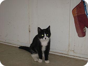 Domestic Shorthair Kitten for adoption in london, Ontario - Panda