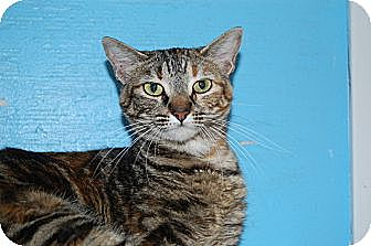 American Shorthair Cat for adoption in Jackson, Mississippi - Rory