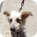 Sheltie, Shetland Sheepdog/Australian Shepherd Mix Puppy for adoption in Santee, California - UNO