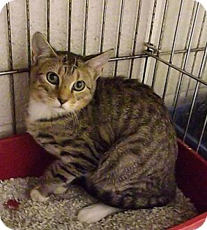 Domestic Shorthair Cat for adoption in Henderson, North Carolina - Lynx