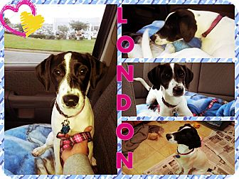 Pointer Mix Puppy for adoption in Hampton, Virginia - London