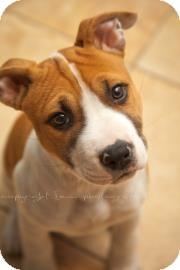 Pit Bull Terrier Mix Puppy for adoption in Philadelphia, Pennsylvania - Jolene