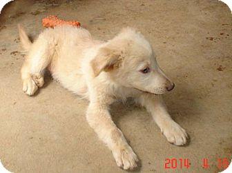 Golden Retriever/Shepherd (Unknown Type) Mix Puppy for adoption in San Francisco, California - Tucker