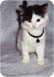 Domestic Longhair Kitten for adoption in Owatonna, Minnesota - Patches