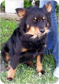 Australian Shepherd/Schipperke Mix Dog for adoption in Marion, Arkansas - Abby - Urgent!!