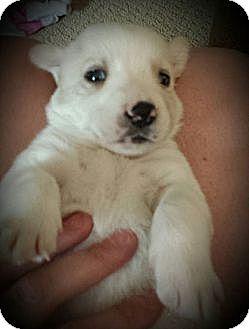 Labrador Retriever/Husky Mix Puppy for adoption in Garden City, Michigan - Warrior