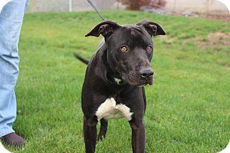 Labrador Retriever Mix Dog for adoption in Yuba City, California - 11/12 Tommy