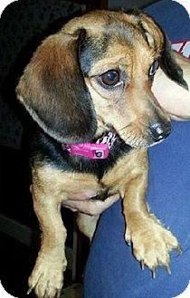 Dachshund Dog for adoption in Georgetown, Kentucky - Duchess