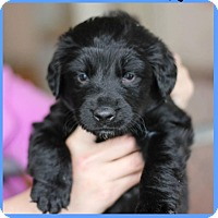 Adopt A Pet :: Goose/Rocco- Adoption Pending - Fredericksburg, VA