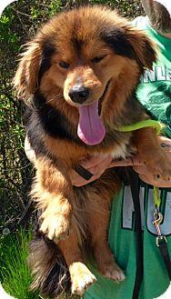 Corgi/Sheltie, Shetland Sheepdog Mix Dog for adoption in Oswego, Illinois - I'M ADPTD Willy Wiggles McLain