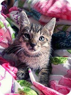 Domestic Shorthair Kitten for adoption in Tampa, Florida - Tyrion