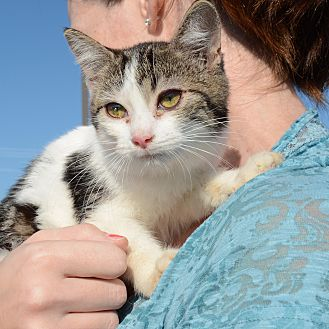 American Shorthair Kitten for adoption in Hopkinsville, Kentucky - Zoey