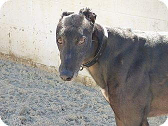 Greyhound Dog for adoption in Aurora, Ohio - Boyd