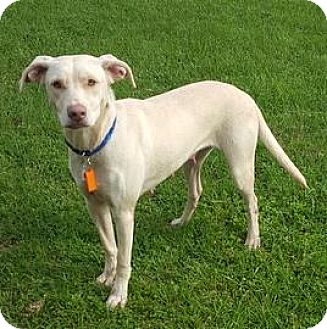 Labrador Retriever Mix Dog for adoption in Janesville, Wisconsin - Lilly