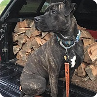 Mastiff/Pit Bull Terrier Mix Dog for adoption in Newfield, New Jersey - Bubba