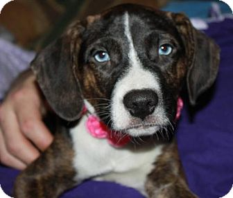 Shepherd (Unknown Type)/Boxer Mix Puppy for adoption in Livonia, Michigan - D15 Litter-Benson-ADOPTED