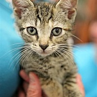 Adopt A Pet :: Trix - Fairfax Station, VA