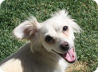 Papillon/Spaniel (Unknown Type) Mix Dog for adoption in Henderson, Nevada - Bailey