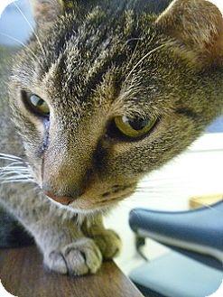 Domestic Shorthair Cat for adoption in Hamburg, New York - Jacob