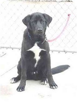 Retriever (Unknown Type)/Border Collie Mix Dog for adoption in Austin, Minnesota - Herbie