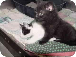 Domestic Shorthair Kitten for adoption in Marshalltown, Iowa - Bailey