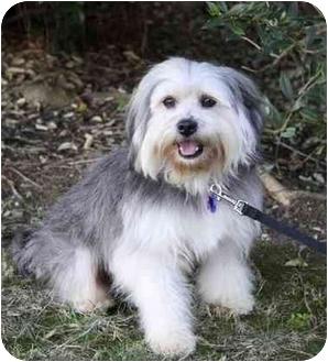 Tibetan Terrier/Lhasa Apso Mix Dog for adoption in Newport Beach, California - CHESTER