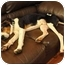 Photo 4 - Treeing Walker Coonhound/Foxhound Mix Dog for adoption in Brooklyn, New York - Taylor