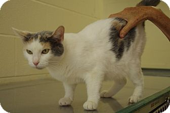 Domestic Shorthair Cat for adoption in Elyria, Ohio - Patches