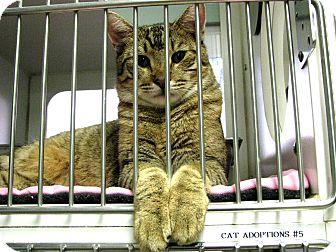 Domestic Shorthair Cat for adoption in Bradenton, Florida - Lucas