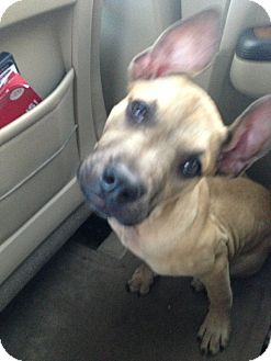 Great Dane/Boxer Mix Puppy for adoption in Orlando, Florida - Tipsy