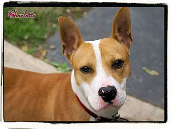 Terrier (Unknown Type, Medium) Mix Dog for adoption in Elmwood Park, New Jersey - Charlotte