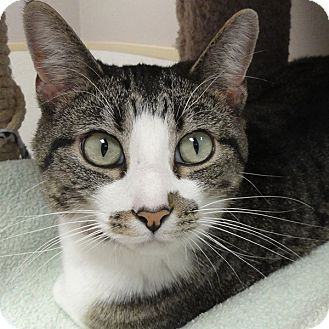 Domestic Shorthair Cat for adoption in Naperville, Illinois - Isis