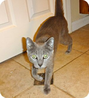Russian Blue Cat for adoption in Escondido, California - Cleopatra