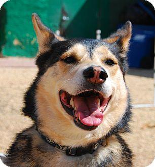 Siberian Husky Mix Dog for adoption in Philadelphia, Pennsylvania - Saki