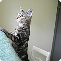 Adopt A Pet :: Hulk - IN FOSTER CARE - Milwaukee, WI