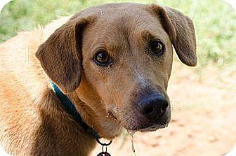 Labrador Retriever/Terrier (Unknown Type, Medium) Mix Dog for adoption in Huntsville, Alabama - Sophie