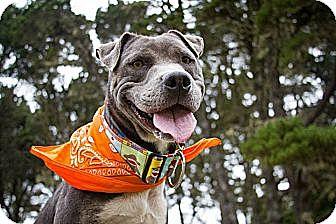 American Pit Bull Terrier/Labrador Retriever Mix Dog for adoption in Portland, Oregon - Ricky