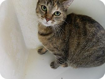 Domestic Shorthair Cat for adoption in Owenboro, Kentucky - GABBIE