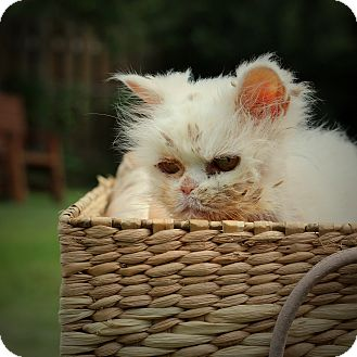 Persian Cat for adoption in College Station, Texas - Queen Elsa