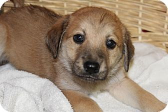 Shepherd (Unknown Type) Mix Puppy for adoption in Waldorf, Maryland - Henry