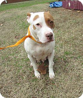Pit Bull Terrier Mix Dog for adoption in Warrenton, North Carolina - Cassey