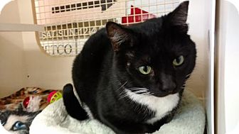 Domestic Shorthair Cat for adoption in Land O Lakes, Florida - Felix