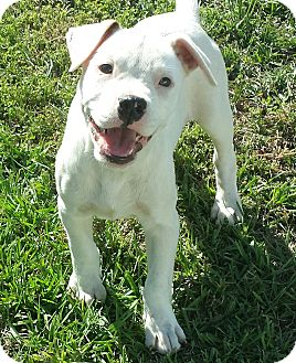 American Bulldog/Catahoula Leopard Dog Mix Puppy for adoption in Orange Lake, Florida - Nikki