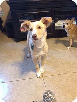 Australian Shepherd/Italian Greyhound Mix Puppy for adoption in Phoenix, Arizona - Sweet Pea